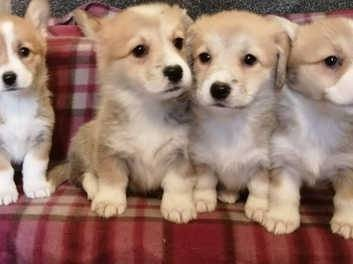 Adorable Pembroke corgie puppies